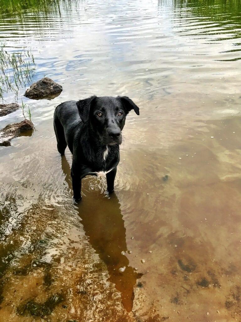 Black lab in water of Lower Sand Cove Reservoir near Gunlock, Utah