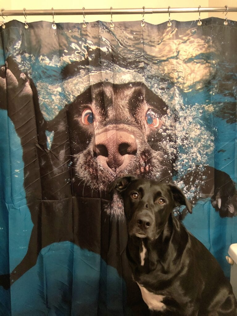 Lab sitting in front of a shower curtain with a photo of a swimming lab on it