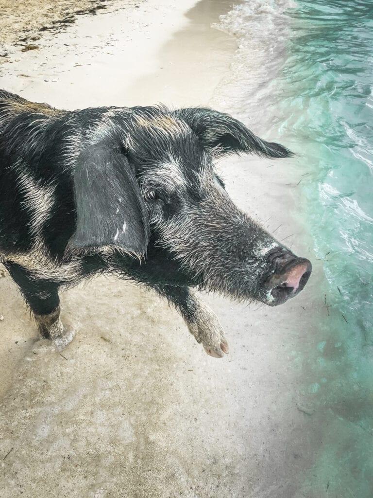 Pig island bahamas