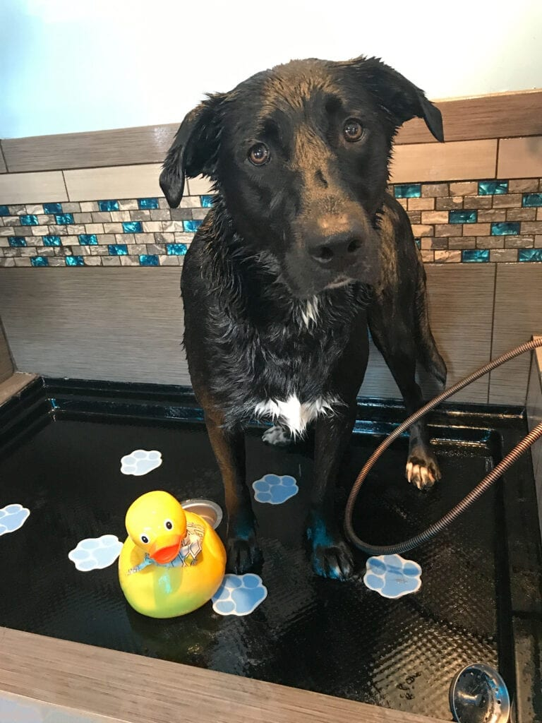 Dog, lab/border collie getting a bath with rubber ducky.