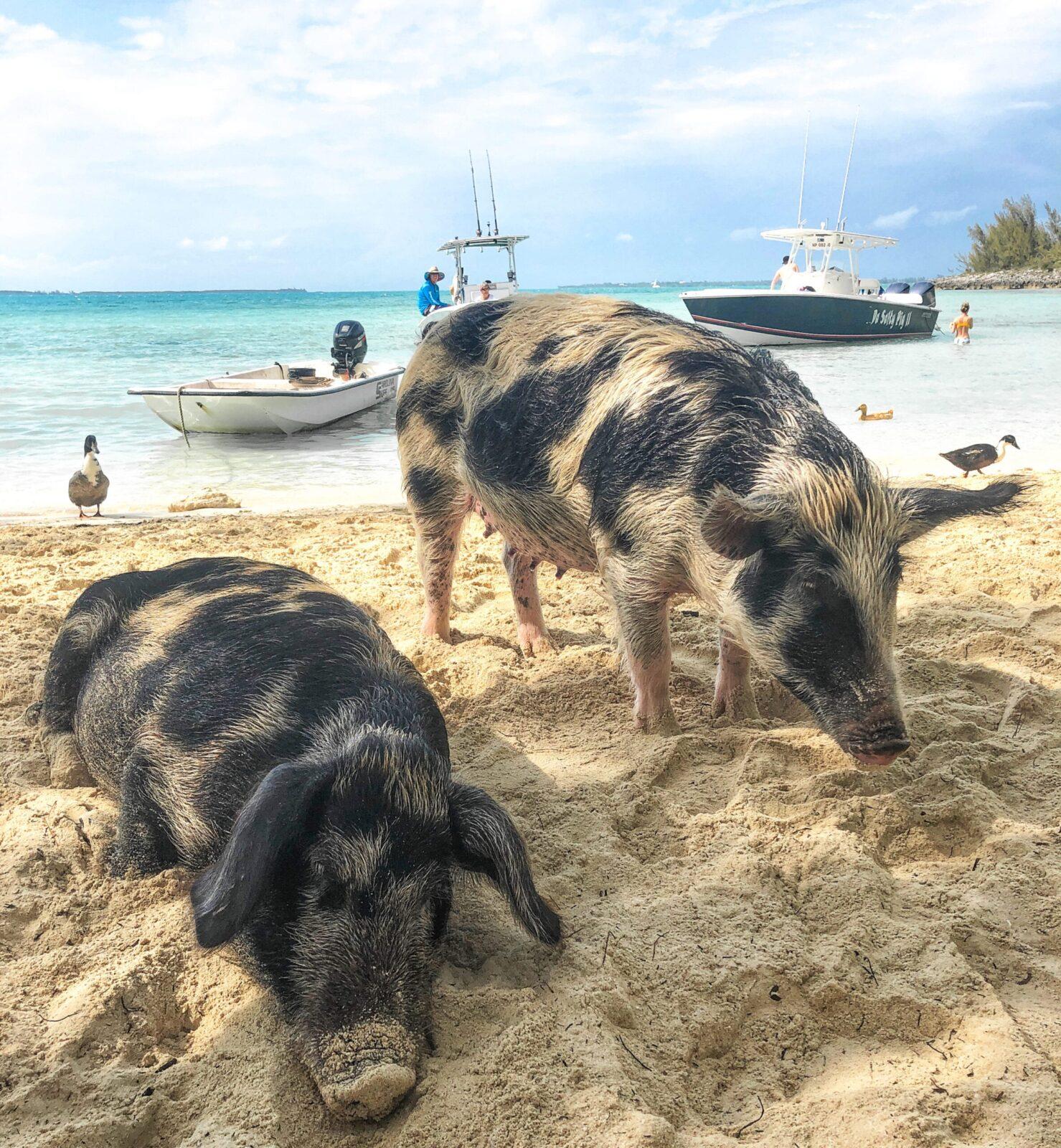 pig editedddd 1