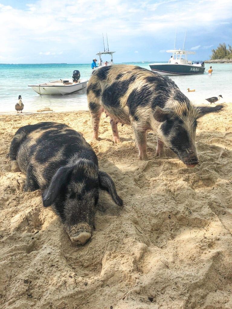 pigs at pig island bahamas