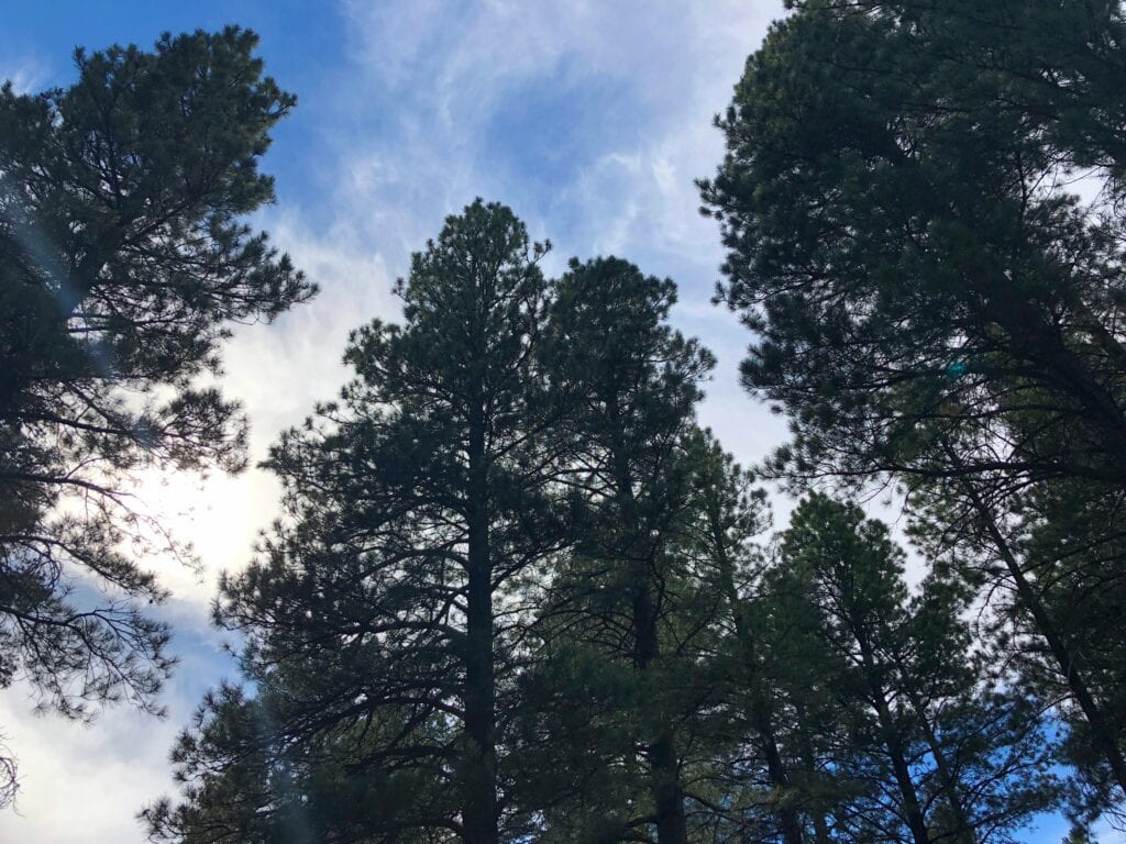 Pine trees against the sky in Pine Valley