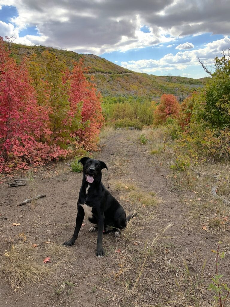 Black lab sitting in front of fall leaf colors in the mountains