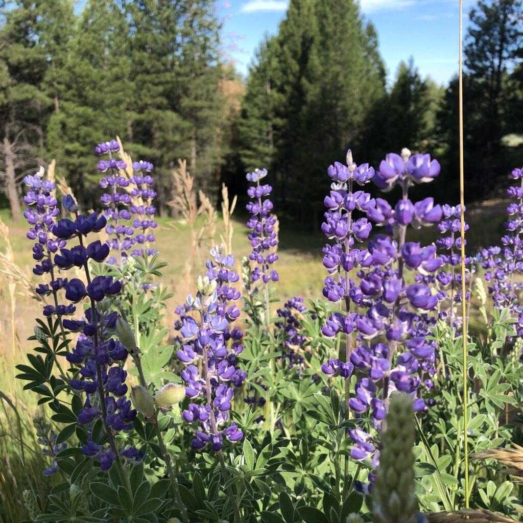 Wild flowers against the pine trees in Pine Valley, Utah