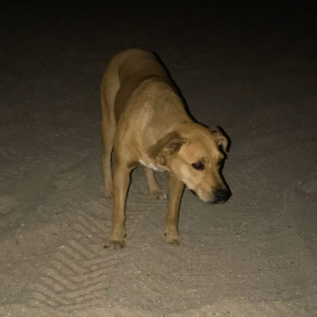 Homeless and abandoned dog on the beach at the Rui Hotel and Resort, Cabo San Lucas, Mexico
