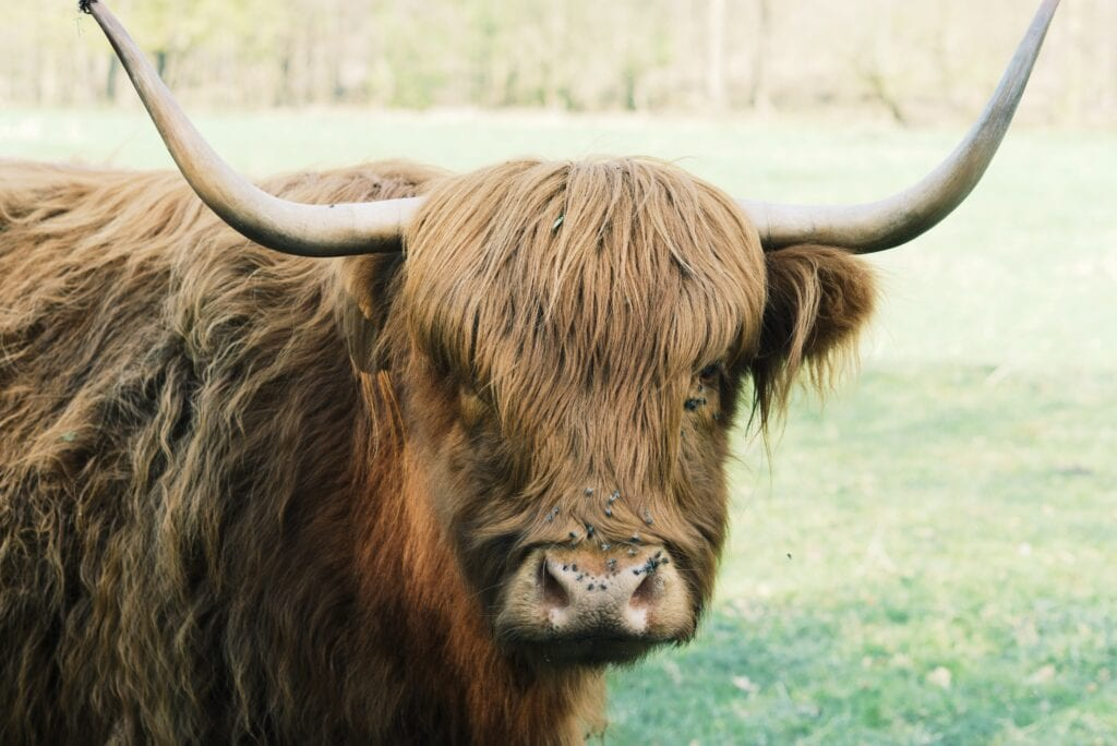 Highland Cow, in The Highland, Scotland,  also known as The Hairy Cow