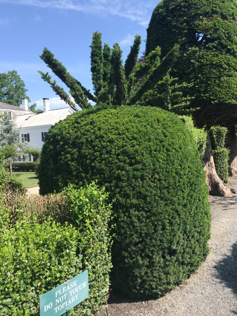 pineapple shaped bush at topiary garden