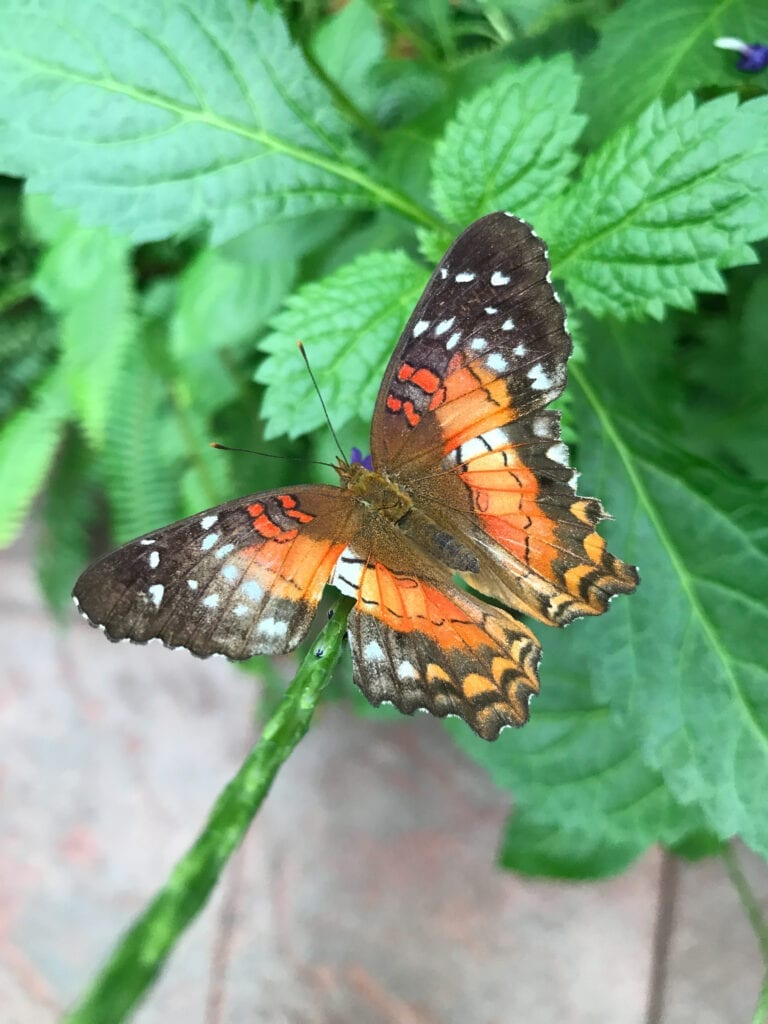 Beautiful orange butterfly on leaf, Sioux Falls, SD