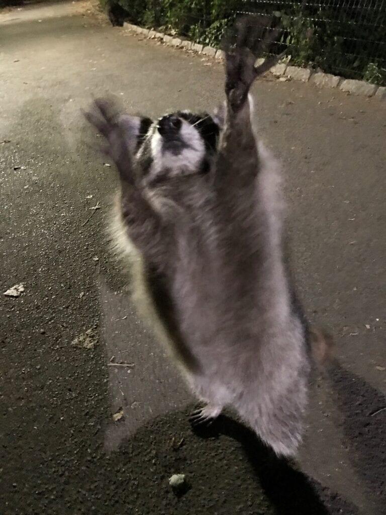 central park raccoon, New York