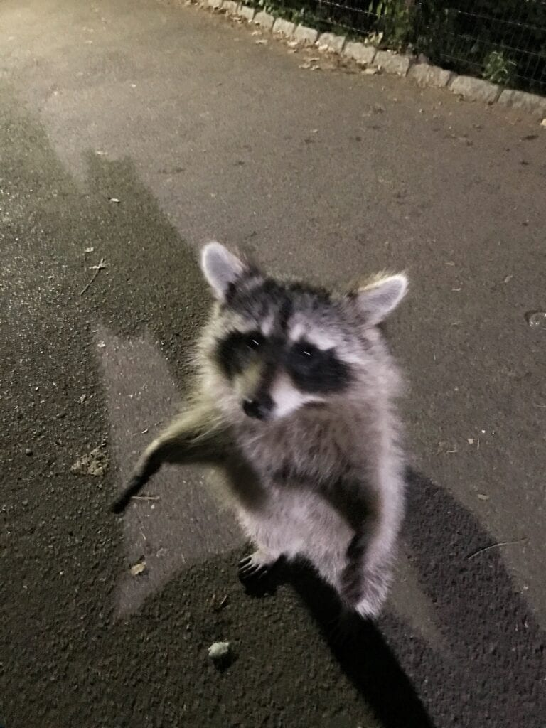 raccoon in central park, New York