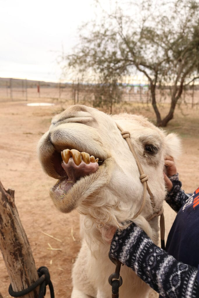 funny camel face
