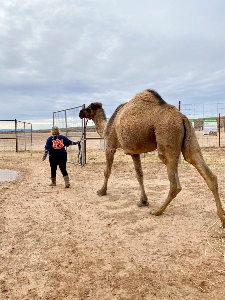 camel with handler