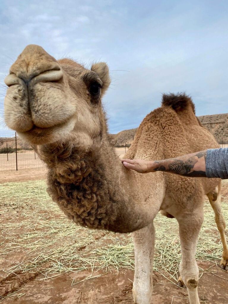 up close camel