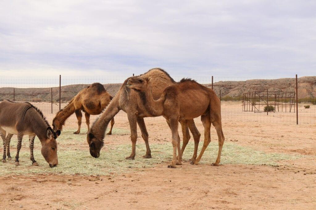 Camel Safari grounds