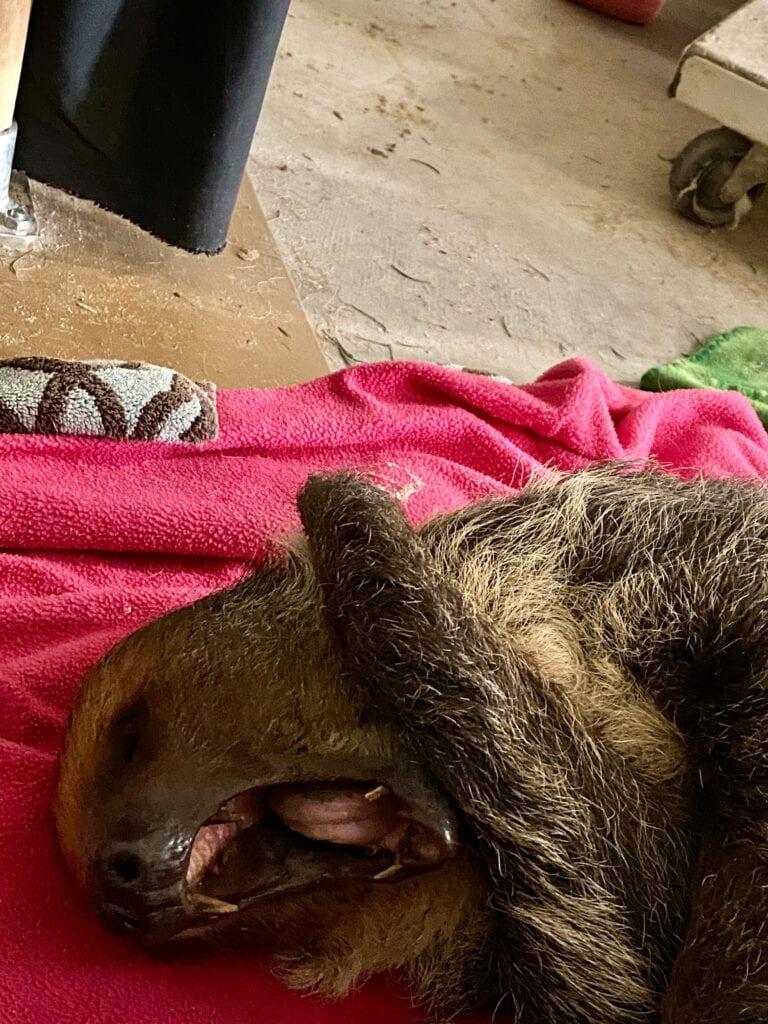 Sloth yawning