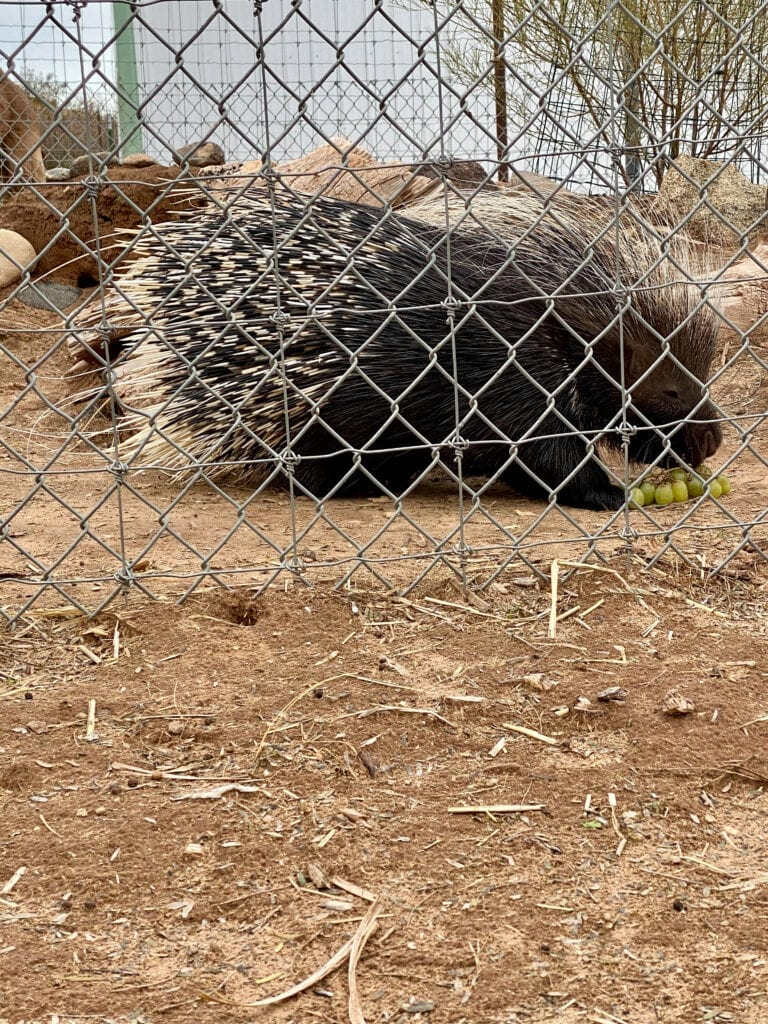 porcupine eating grapes