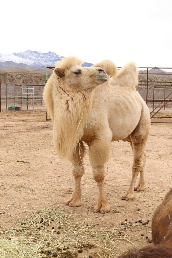 sexy camel