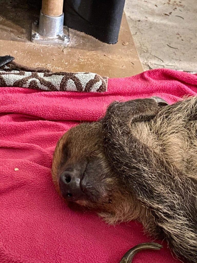 sleeping sloth 1