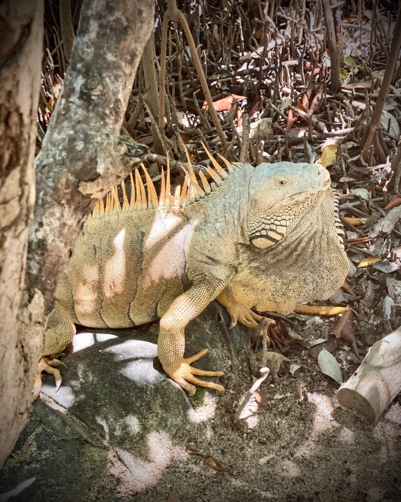 Iguana Sanctuary Belize